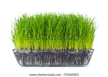 grass with soil isolated on white - stock photo