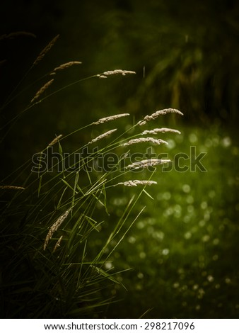 Grass with spikelets under the rain - stock photo