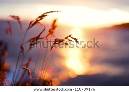 Grasses at sunset - stock photo