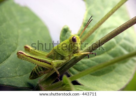grasshopper clinging to stem - stock photo
