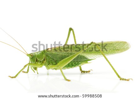 grasshopper from side on white background - stock photo