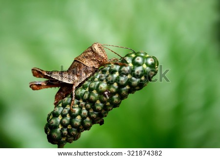 Grasshopper in nature - stock photo