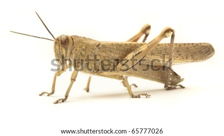 grasshopper isolated on a white background - stock photo