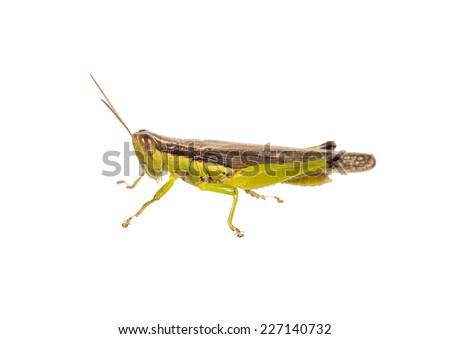 grasshopper isolated on white - stock photo