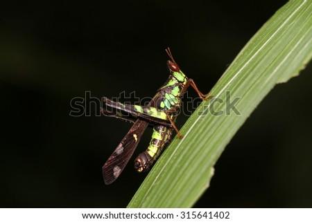 Grasshopper Macro,Grasshopper - stock photo