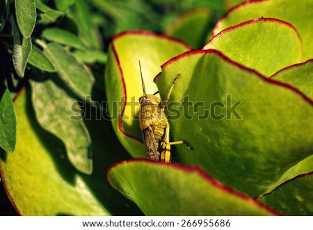 Grasshopper Macro on green background - stock photo