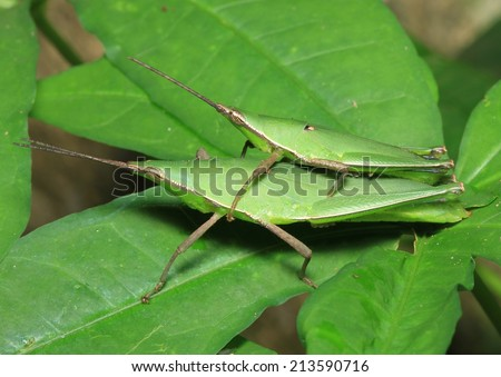 Grasshopper mating on grass leaf, green background - stock photo