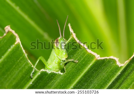 Grasshopper on green background. - stock photo