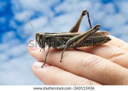 Grasshopper on human hand - stock photo
