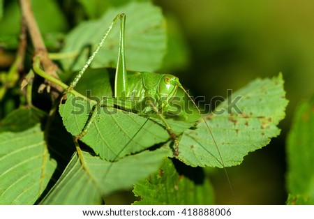 Grasshopper on leaves close up.Green Katydid - stock photo