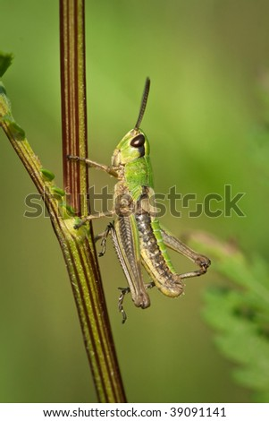 grasshopper on the grass, extreme closeup and details, macro