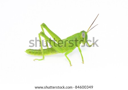 grasshopper on white background - stock photo