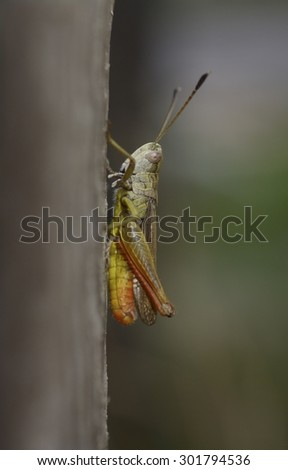 grasshopper on wood