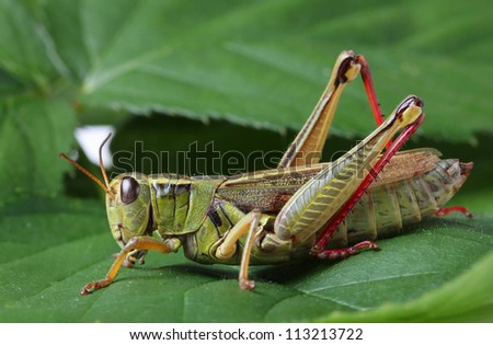 Grasshopper perching on green leaf - stock photo