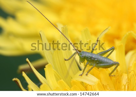 Grasshopper sits on a flower.