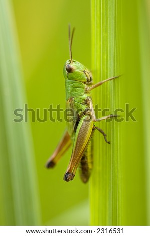 Grasshopper sitting on a blade closeup - stock photo