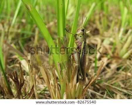 Grasshopper Stethophyma an a Scirpus - stock photo