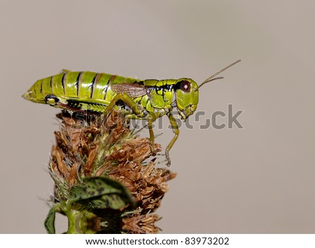 Grasshopper Stethophyma grossum on a plant with great light