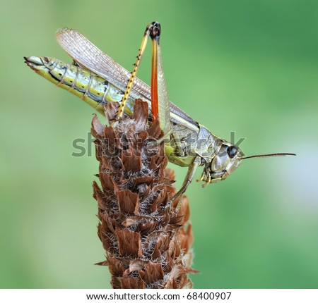 Grasshopper Stethophyma grossum on the plant