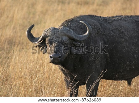 grassland scenery with African Buffalo in Uganda (Africa) - stock photo