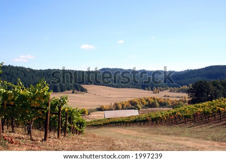 Grassy road winding down through a vineyard on a beautiful autumn day. - stock photo