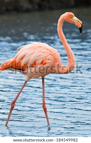 Grater flamingo (Phoenicopterus roseus) fishing in Las Bachas lagoon, Santa Cruz Island, Galapagos, Ecuador - stock photo