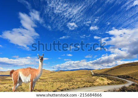Gravel road between the mountains and trusting guanaco -  small camel. National Park Torres del Paine in Chile - stock photo