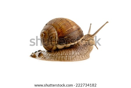 grawling snail isolated on a white background - stock photo