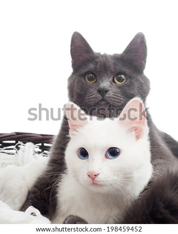 gray and white cats in a basket on a white background isolated