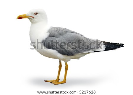 Gray and white seagull of the Atlantic - stock photo