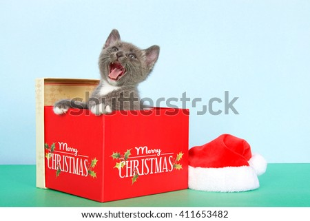 gray and white tabby kitten in a red Christmas box next to a small santa hat on green table with light blue background, meowing, mouth wide open - stock photo