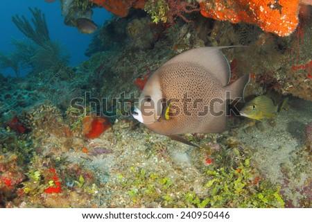 Gray Angelfish on a Coral Reef (Pomacanthus arcuatus) - Roatan, Honduras - stock photo