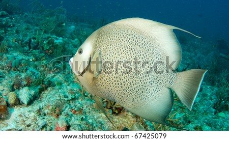 Gray Angelfish-Pomacanthus arcuatus, swimming over a reef in south east Florida.