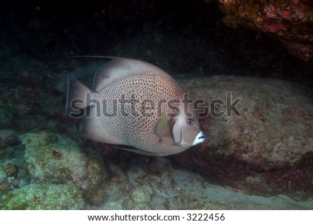 Gray Angelfish with rocky coral background