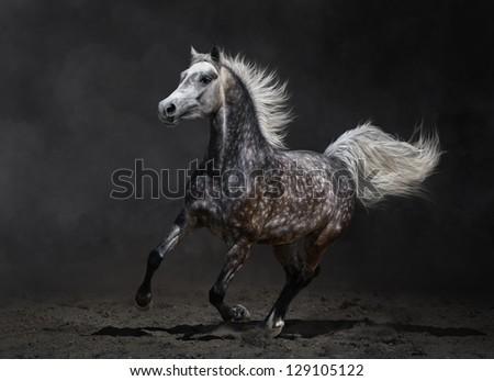 Gray arabian mare gallops on dark background - stock photo