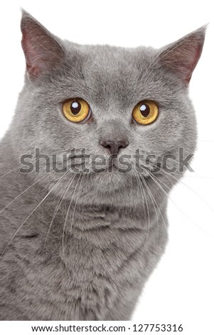 Gray british cat close up portrait on white background stock photo