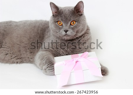 gray British cat holding present gift box