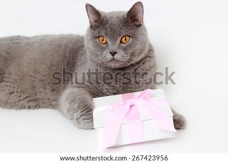 gray British cat holding present gift box  - stock photo