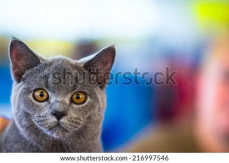 Gray british cat with bright yellow eyes looking at the camera. Close-up - stock photo