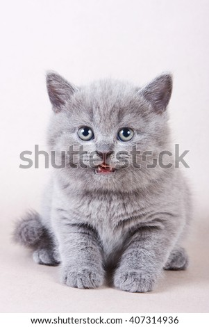 Gray British kitten licked