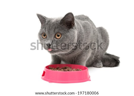 gray cat eating food from a bowl isolated on white background. horizontal photo. - stock photo