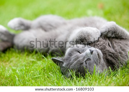 Gray cat enjoying summer on green grass - stock photo