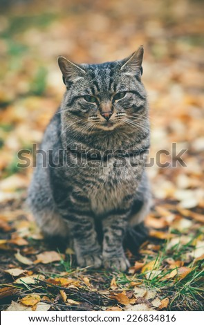 Gray Cat homeless sad emotions Outdoor Lifestyle and helping concept autumn leaves on background - stock photo