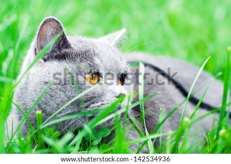 gray cat lying in the grass - stock photo