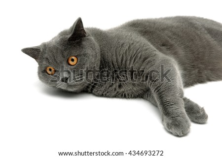 gray cat lying on a white background close-up. horizontal photo.