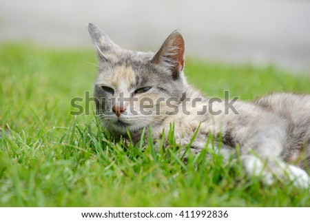 Gray  cat lying on the Meadow