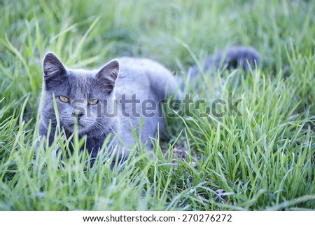 Gray cat on vibrant green lawn background; focus on cat's face (Shallow DOF) - stock photo