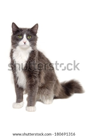 Gray cat sitting on a white background - stock photo