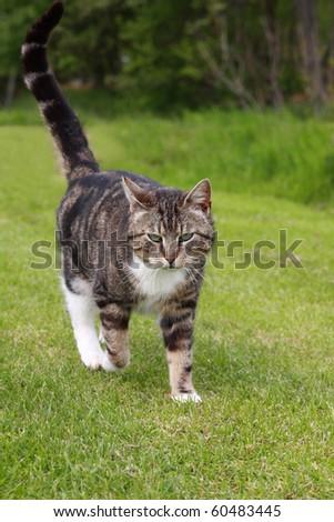 gray cat walking on grass - stock photo