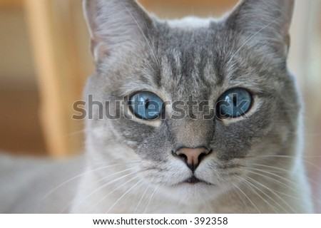 gray cat with blue eyes - stock photo